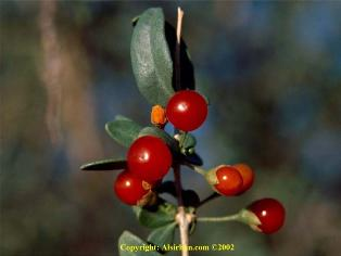 buah gharqad, pokok yahudi
