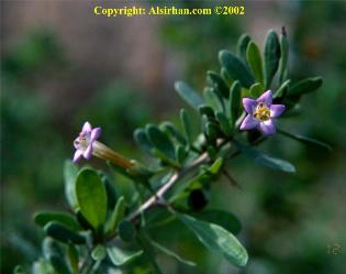 gambar bunga pohon gharqad