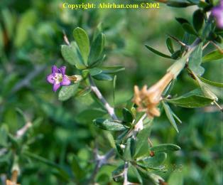 gambar bunga gharqad