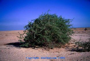 gambar pokok gharqad
